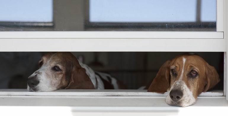 Dogs look out open window with no window covering in San Jose.